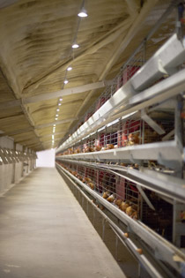poultry lighting references 1 Commercial layer houses of cage system egg production lohmann classic brown